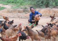 Thành công bất ngờ từ mô hình nuôi gà theo nhóm ở Nghệ An